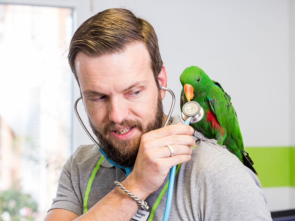 Papagei sitz auf der Schulter vom Tierarzt und knabbert am Stethoskop