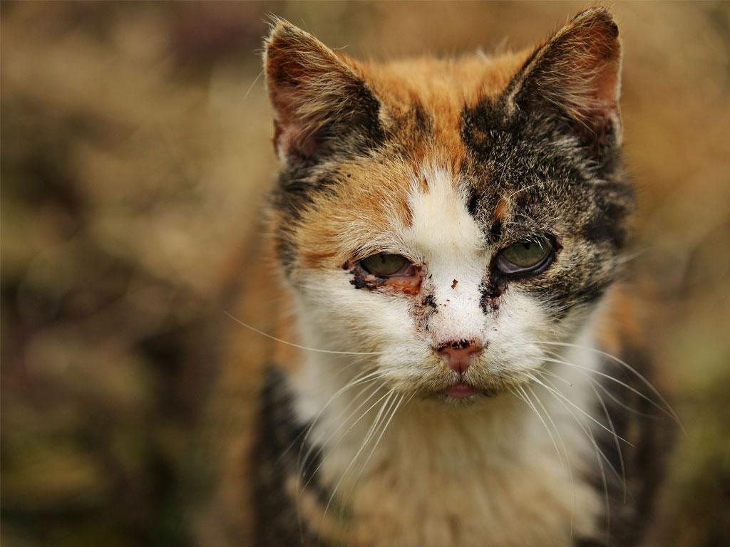 Dreifärber Katze mit Katzenschnupfen. Entzündetes, tränende Augen und tropfende Nase