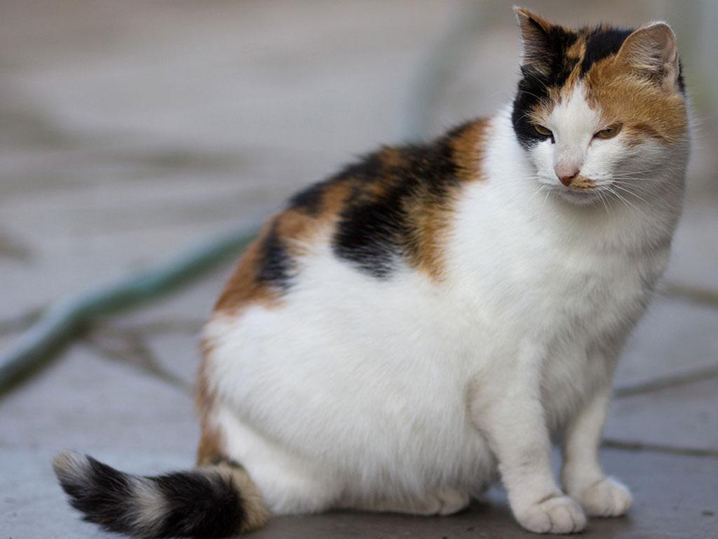 Schwangere Katze