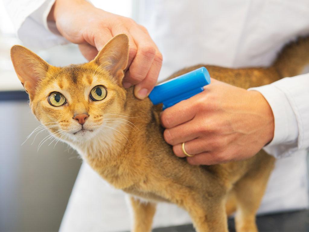 Katze wird der Micro Chip impleziert