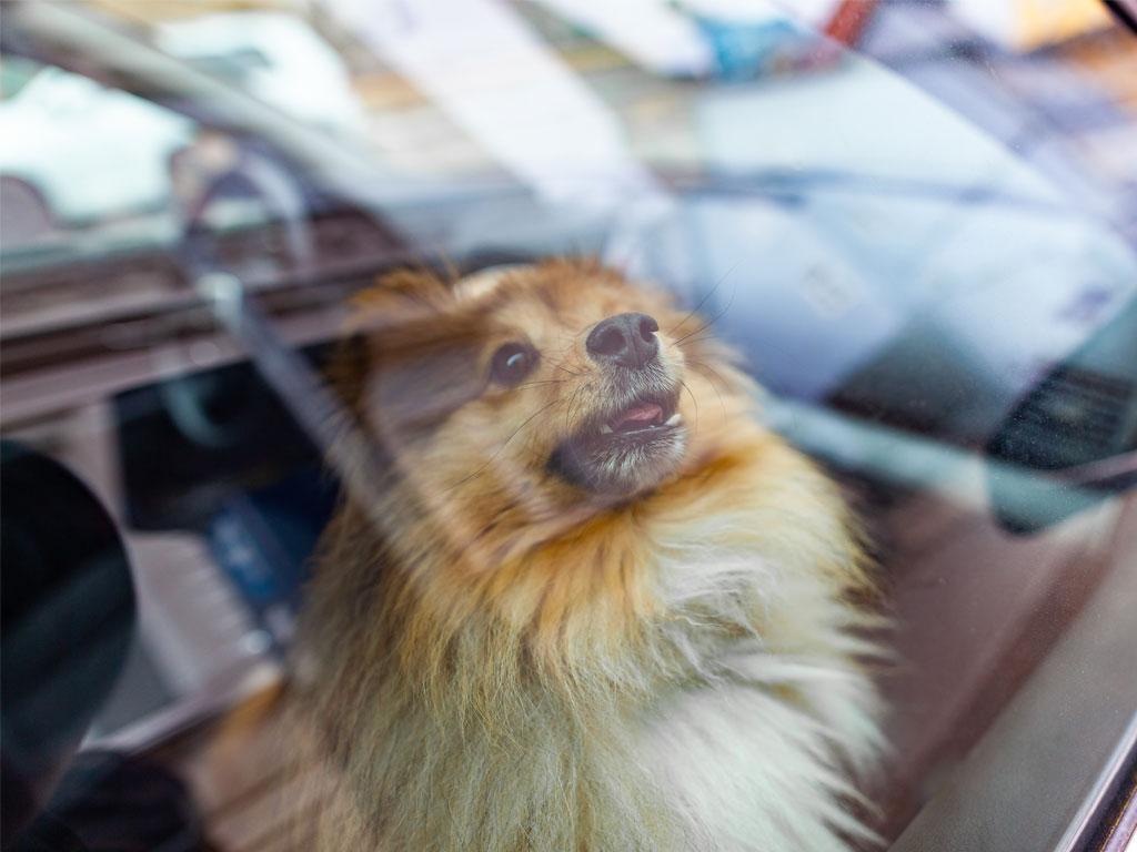 Ein Hund wartet im geparkten Auto in der Hitze, hechelt im Innern eines Auto