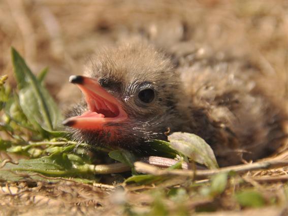 Ein Jungvogel sitzt am Boden mit offenem Schnabel