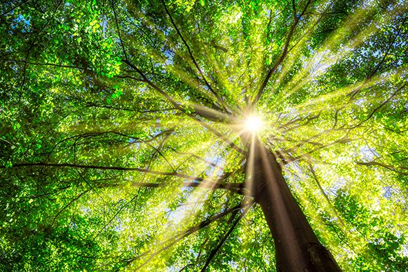 Baum Ansicht von unten, Sonne strahlt durch die Äste von dem Baum