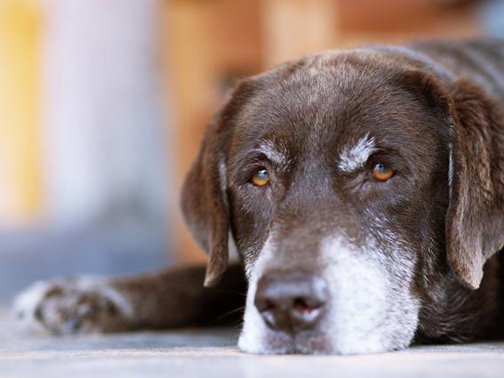 Alter Hund mit ergrauter Schnautze liegt am Boden