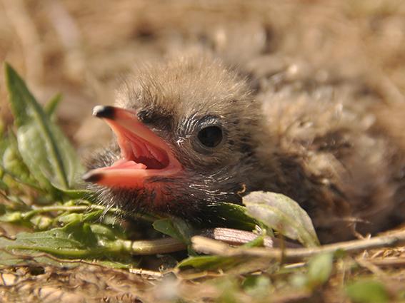 Jungvogel sitzt im Gras und ruft nach seinen Eltern