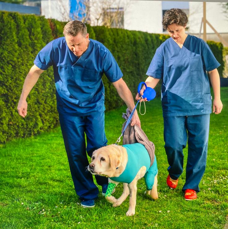 Labradorhündin wird nach der OP von den Chirurgen  bei ersten Schritten unterstützt