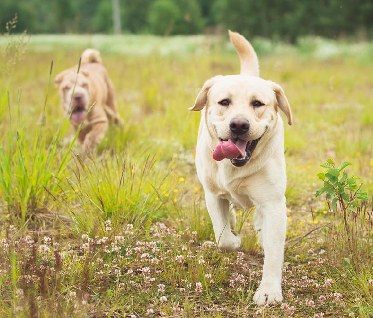 Labradorhündin rennt um die Wette mit ihrem Kumpel