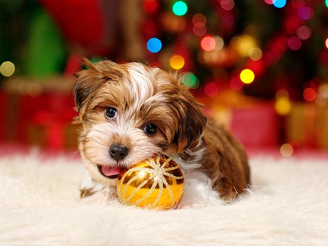 Hundebaby knabbert an Weihnachtsglaskugel