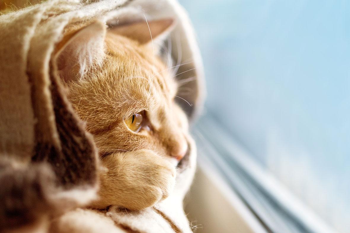 warm eingerollte Katze blickt interessiert aus dem Fenster
