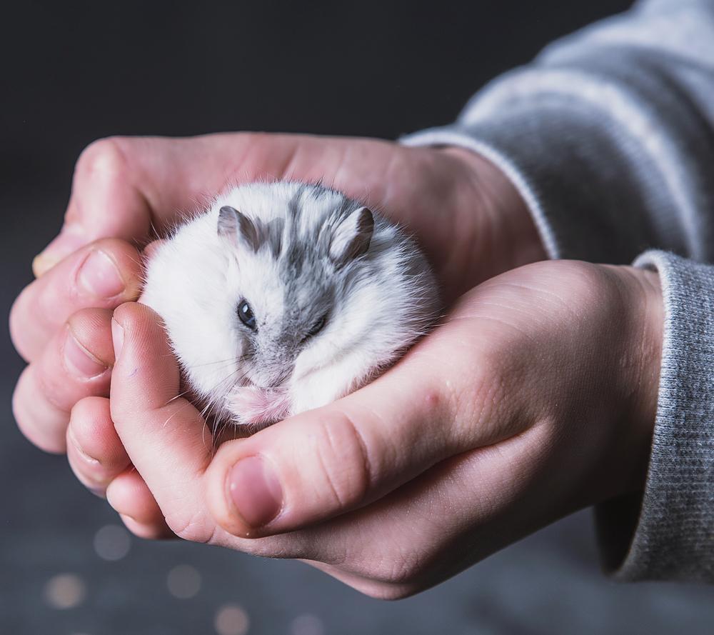 Eine Handvoll Hamster, Zwerghamster Dame Ygritte wird in die Klinik getragen