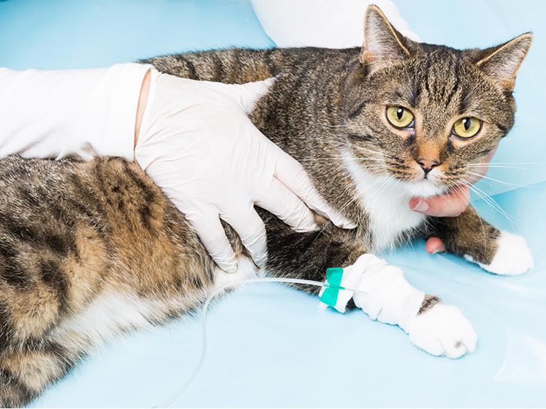 Kater Bruno liegt auf dem Behandlungstisch und es wird Ihm ein Harnröhrenkatheter gesetzt