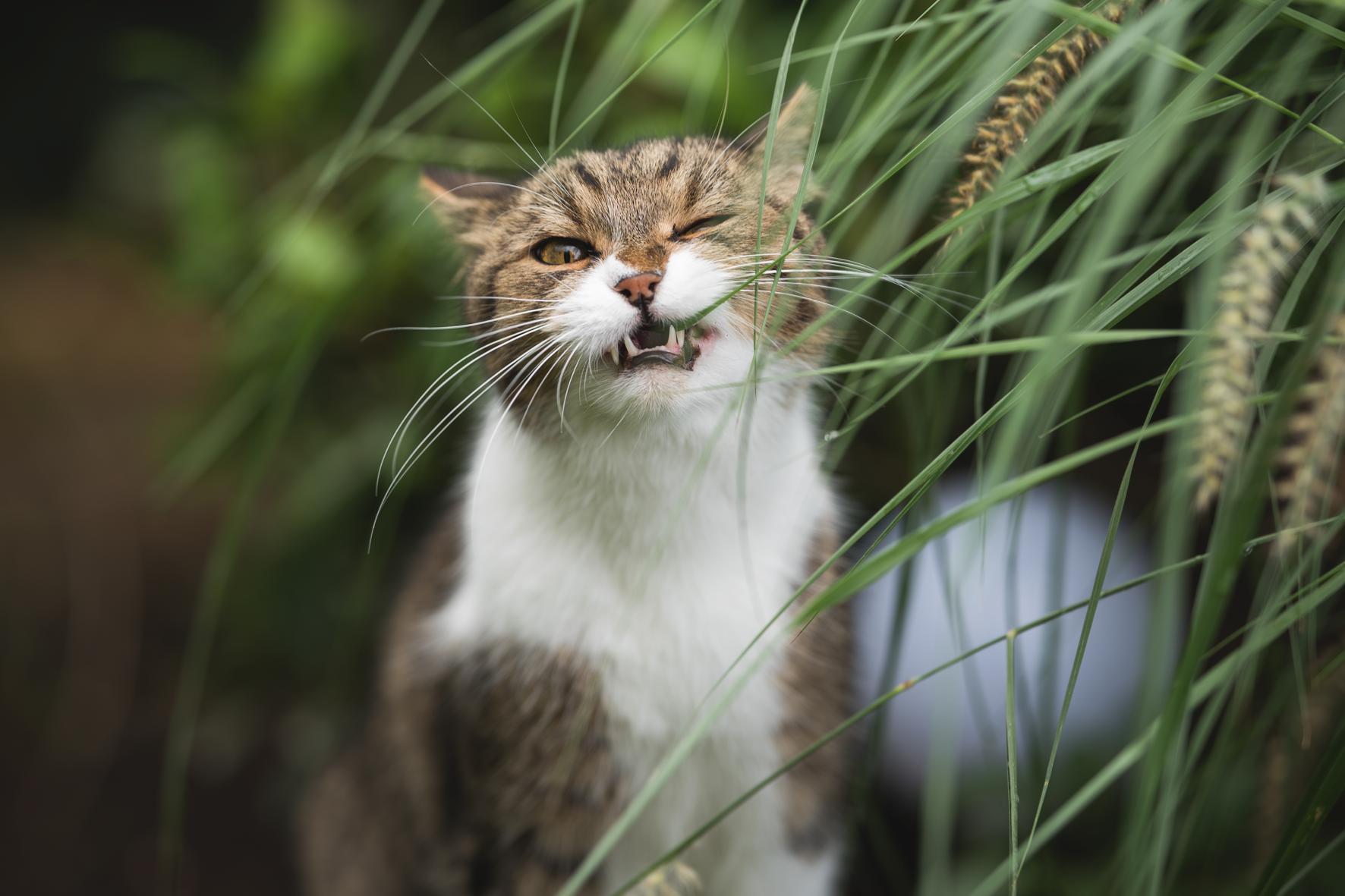 Braun-weisse Katze frisst genüsslich Grünzeug
